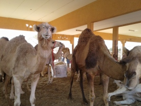 Camels for auction near Dubai, U.A.E.