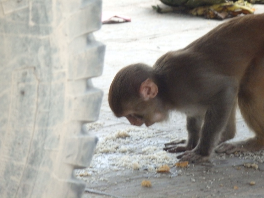 Curious Monkey hunts for food scraps