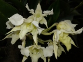 Gualaceo Orchids