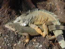 Watch where you step because the Iguana has the right-of-way